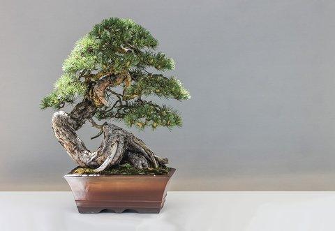 Geld verdienen met bonsai planten